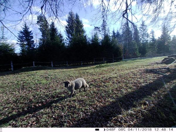 3g rajakaamera 3.0cg, päev, lammas